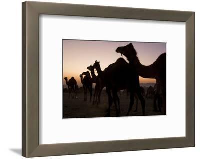 Silhouetted Dromedary Camels at Sunset at the Pushkar Camel Fair