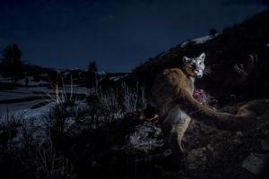 The Flash of a Remote Camera Diverts a Wyoming Cougar from its Kill by Steve Winter
