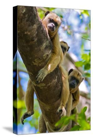 Three Howler Monkeys Looking Down from a Tree Branch in the Brazilian Pantanal