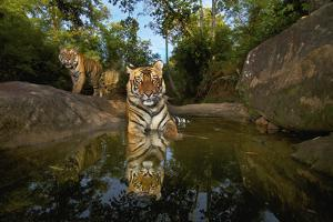 Tiger Cubs Rest At A Waterhole In Bandhavgarh National Park by Steve Winter