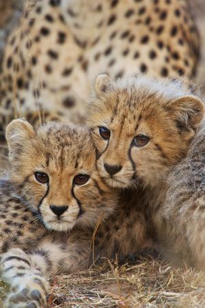 Two Cheetah Cubs, Acinonyx Jubatus, Rest Together Near their Mother
