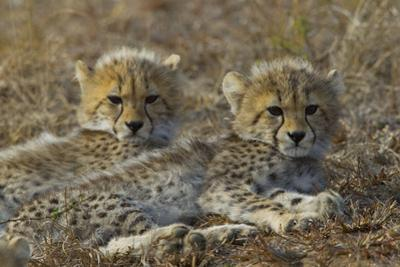 Two Cheetah Cubs Relax Together in Tall Grass by Steve Winter