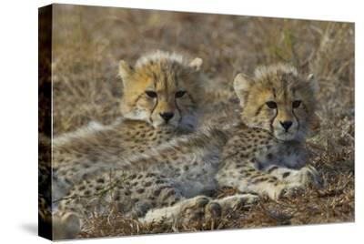 Two Cheetah Cubs Relax Together in Tall Grass