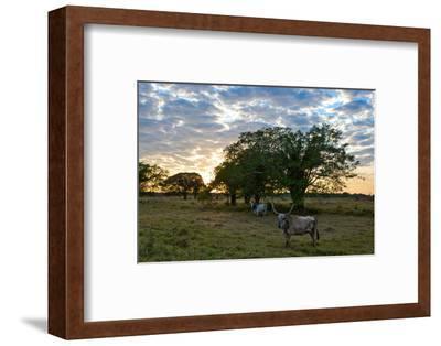 Zebu Cattle in Grazing Fields of a Brazilian Cattle Ranch in the Pantanal