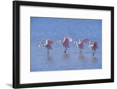 Roseate Spoonbill Four Juveniles (Platalea Ajaja) Sanibel Is, Florida, US Ding Darling