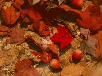 Fallen Leaves and Acorn Seeds-Steven Emery-Photographic Print