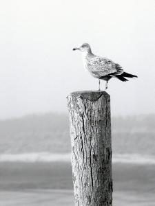 White Seagull on Post, Cape Cod by Steven Emery