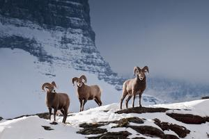 Bighorn Sheep High in the Lewis Range of Glacier National Park, Montana by Steven Gnam