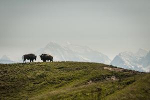 Bison on the National Bison Range, Montana by Steven Gnam