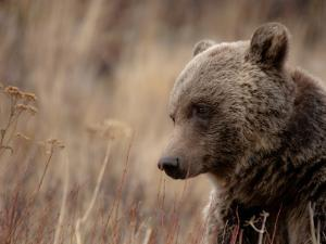 Close Up of a Wild Grizzly Bear, Glacier National Park, Montana by Steven Gnam