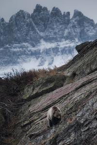 Grizzly Bear Walks Along Rock Shelf of Glacier-Waterton International Peace Park, Montana by Steven Gnam