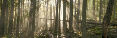 Morning Light and Fog Amidst an Old Growth Cedar Forest.  Glacier National Park, Montana.