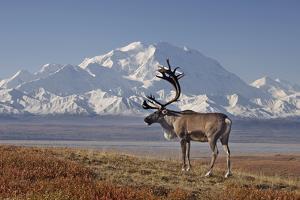Reindeer, Enali National Park by Steven Kazlowski