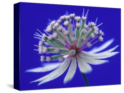 Astrantia (Masterwort), Flower on Dark Blue Background