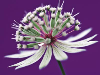 Astrantia (Masterwort), Flower on Purple Background