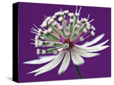Astrantia (Masterwort), Flower on Purple Background