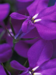 "Lobelia Erinus ""Cambridge Blue,"" Close-up of Purple Flower by Steven Knights"