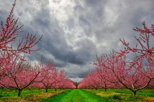 Apple Blossoms by Steven Maxx