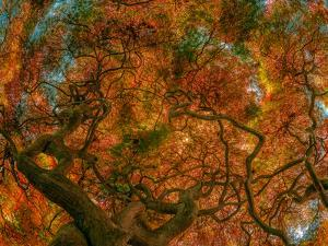 Japanese Maple by Steven Maxx