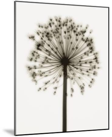Allium by Steven N. Meyers