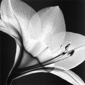 Amaryllis I by Steven N^ Meyers
