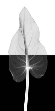 Calla Leaf II by Steven N. Meyers