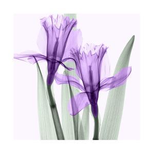 Daffodils I by Steven N^ Meyers