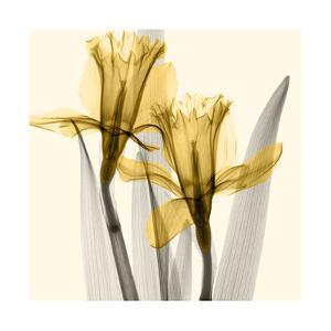 Daffodils II by Steven N^ Meyers