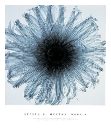 Dahlia by Steven N. Meyers