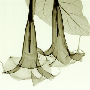Datura by Steven N^ Meyers