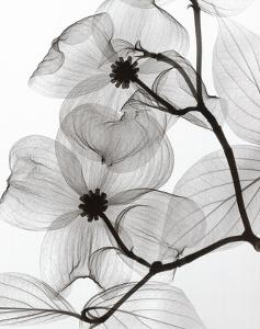 Dogwood Blossoms Positive by Steven N^ Meyers