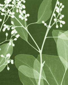 Eucalyptus Buds II by Steven N. Meyers