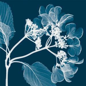 Hydrangeas A (Negative) by Steven N^ Meyers