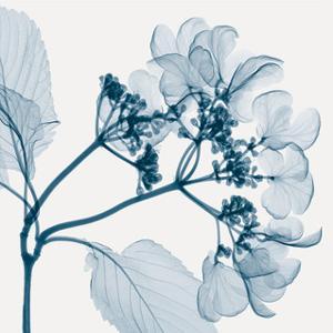 Hydrangeas - Positive (Left) by Steven N. Meyers