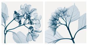 Hydrangeas [Positive] by Steven N^ Meyers