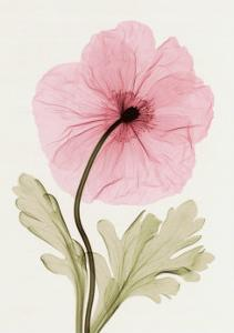 Iceland Poppy I by Steven N^ Meyers