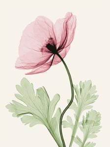 Iceland Poppy II by Steven N^ Meyers