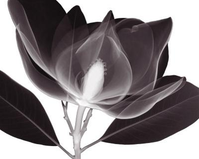 Magnolia by Steven N. Meyers