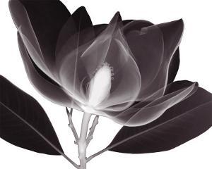 Magnolia by Steven N^ Meyers