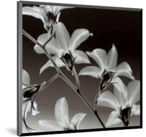 Orchid Denrobium by Steven N^ Meyers