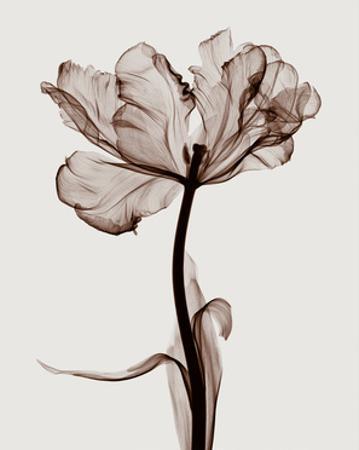 Parrot Tulips I by Steven N. Meyers