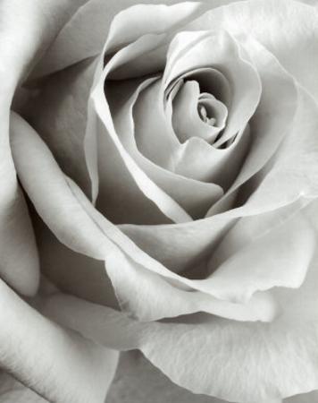 Rose by Steven N^ Meyers