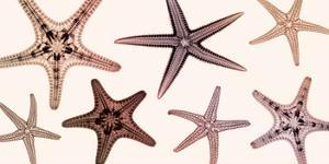 Starfish Collection (Sepia) by Steven N. Meyers
