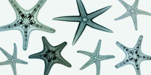 Starfish Collection (Teal) by Steven N^ Meyers