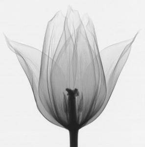 Triumph Tulip by Steven N^ Meyers