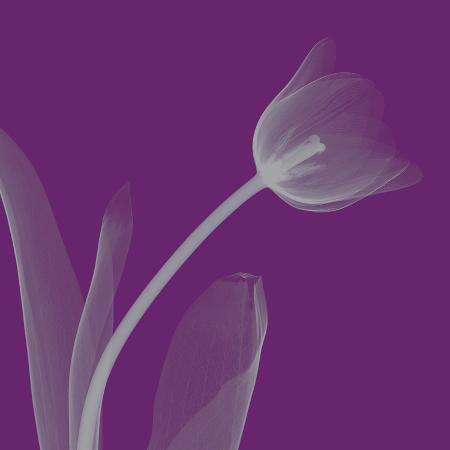 steven-n-meyers-tulip-silver-small