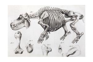 1812 Hippopotamus Skeleton by Cuvier by Stewart Stewart