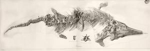 Ichthyosaur Skeleton Engraving 1819 Home by Stewart Stewart