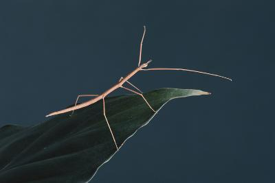 Stick Insect on Leaf-DLILLC-Photographic Print