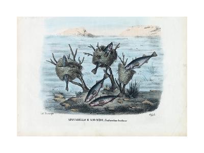 Stickleback, 1863-79-Raimundo Petraroja-Giclee Print